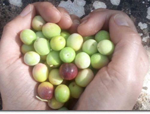 ¿Cual es la diferencia entre el aceite de oliva, oliva virgen y virgen extra?